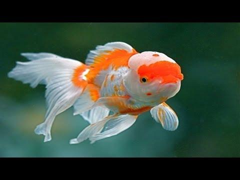 Chinese Red Cap Oranda Goldfish (Brain Fish)