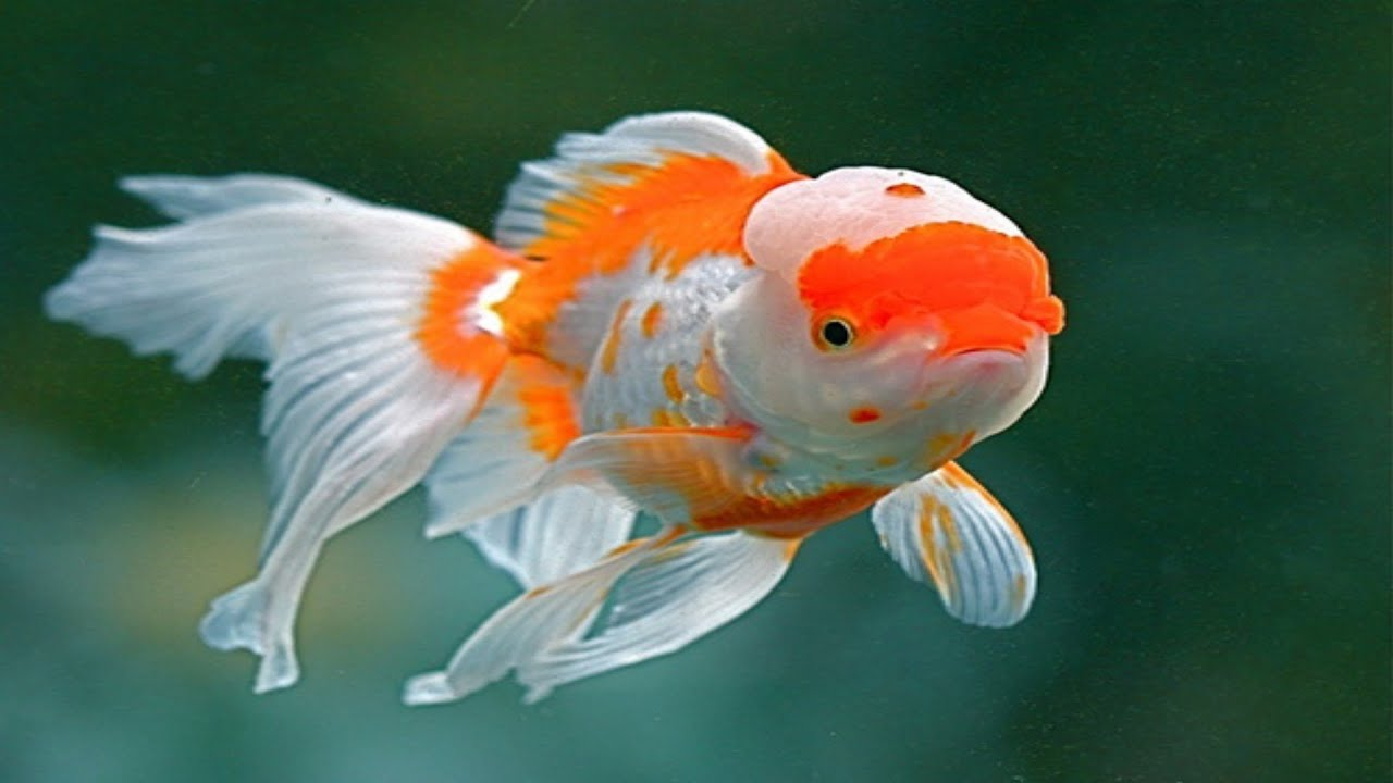 Cute Goldfish Wallpaper Chinese Red Cap Oranda Goldfish Brain Fish Youtube