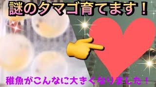 【アクアリウム】謎のタマゴを育てます!孵化した稚魚が大きくなりました!【タマゴ】【孵化】