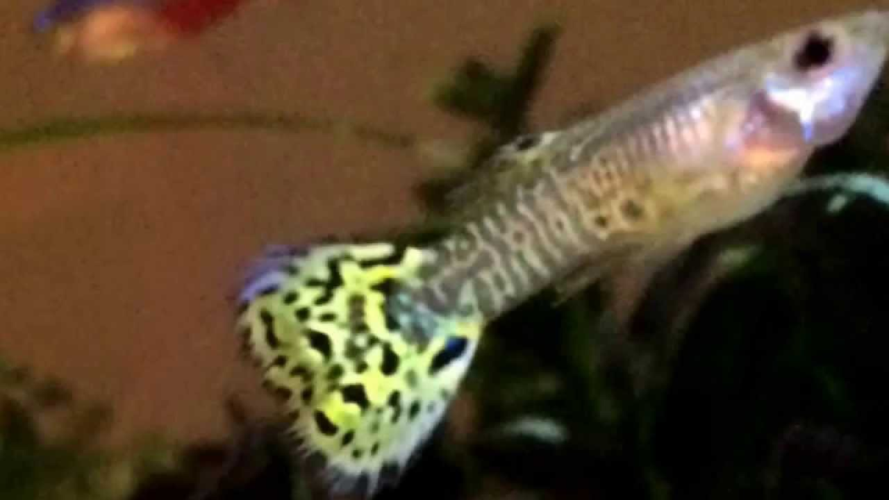 How To Breed Hybrid Molly S And Guppies Youtube