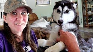 husky-puppy-in-my-lap