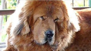 Тибетский Мастиф Галсан 2 года. Малыш подрос. Tibetan Mastiff 2 years. Одесса.
