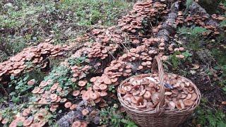 Пошёл за грибами и увидел огромное количество осенних опят 28 Сентября 2021 год.