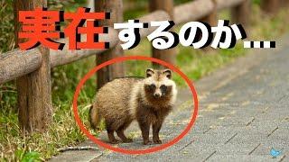 お前ら、タヌキって実在する動物だったらしいぞ... 日本固有の種タヌキに外国人が驚く(海外の反応)Bluenote