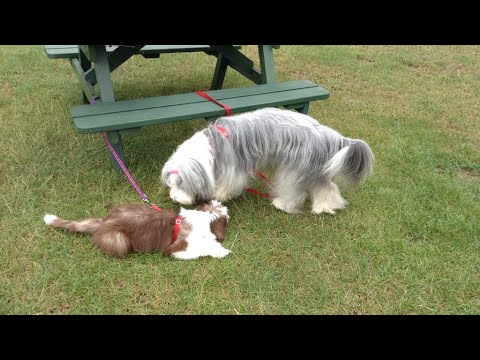 Going on holiday with the dogs! Part 1 | Bearded collie | Rosie and Bonnie