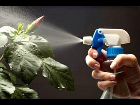 ТРИПСЫ на комнатных цветах | ВРЕДИТЕЛИ комнатных растений и борьба с ними