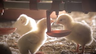 Ситуация по птичьему гриппу в Белгородской области