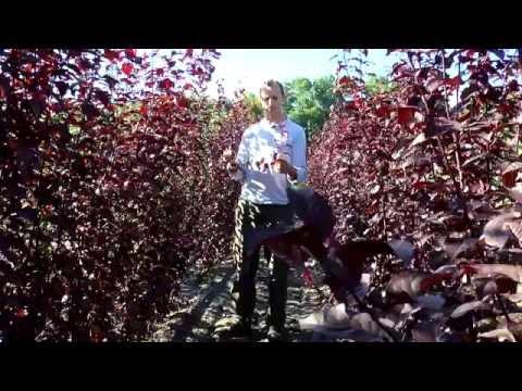 Деревья с пурпурной листвой виды, сорта, применение в