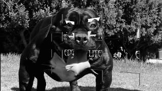 AMERICAN BULLY ALWAYS BET ON BLACK ELITE EDGE ATOMIC DOGG MAGAZINE AMERICAN BULLY RAZORS EDGE