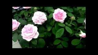 видео Роза Gertrude Jekyll