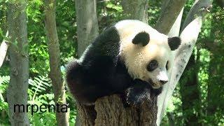 今日のシャンシャン 8月17日 上野動物園 香香 パンダ thumbnail