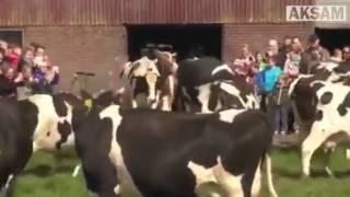 Altı ay sonra ilk kez dışarı çıkan ineklerin sevinci...