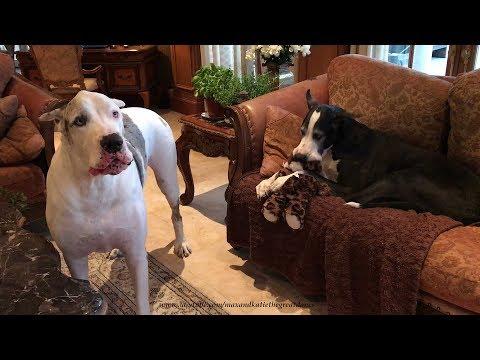 Dog Gets Jealous Of Stuffed Animal