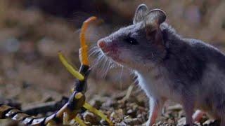 Грозный пустынный воин - СКОРПИОНОВЫЙ ХОМЯЧОК В ДЕЛЕ! смотреть онлайн в хорошем качестве - VIDEOOO
