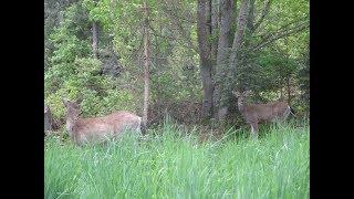 Two Bucks watching me thumbnail