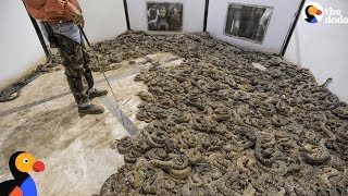 Cruel Rattlesnakes Contests Round Them Up And Kill Them | The Dodo thumbnail