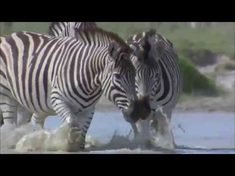 An Exodus of Zebras : Documentary on the Lives and Migration of Africa's Zebras