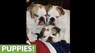English Bulldogs sleep together in hysterical fashion
