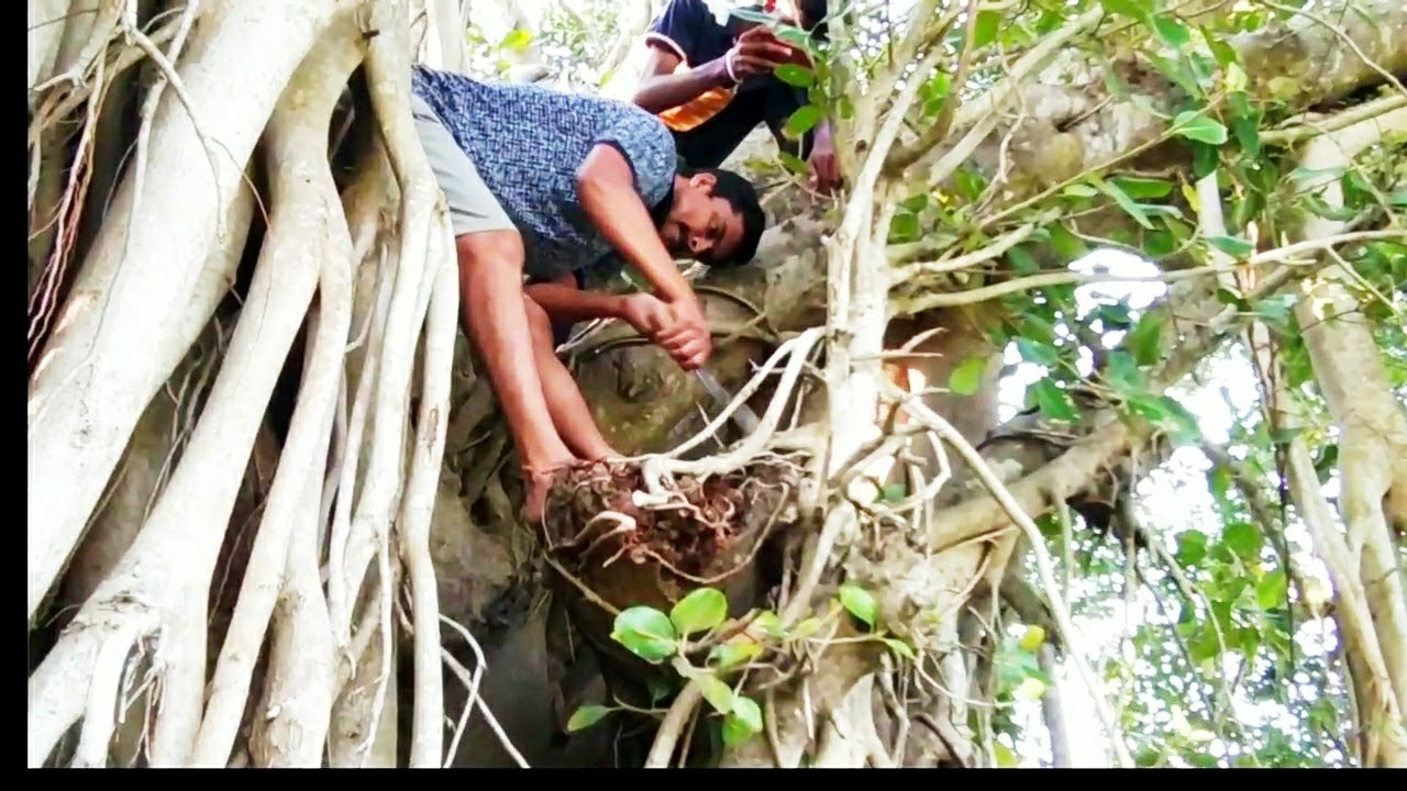 Bonsai Hunting in the Wild 2019 with update #Bonsai #Odisha #BonsaiOdisha #IndianBonsai #India