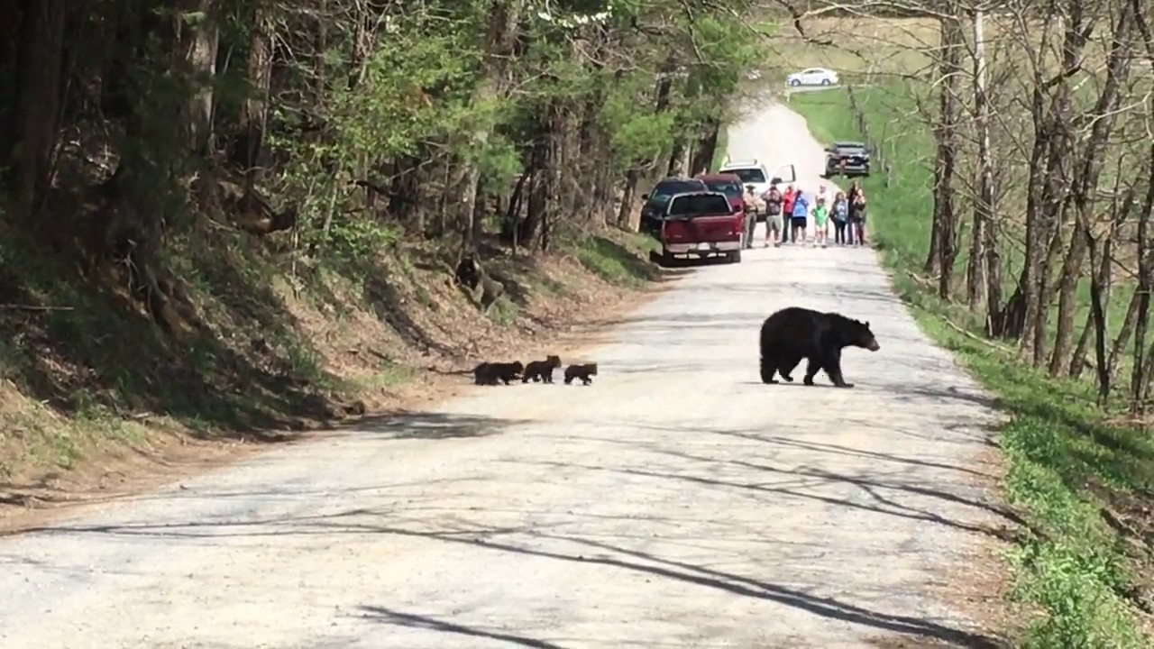 Mama Black Bear Crossing The Road In Cades Cove With Her Four Cubs