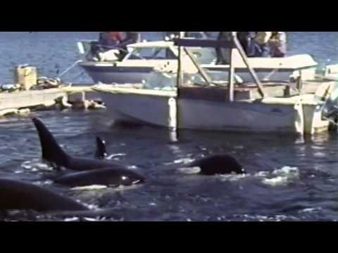 Orca Kidnapping (Blackfish)