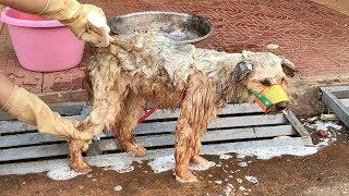 Rescue Homeless Dog With Dirty Hair Transforms Into Beauty And Health | Dog Rescue Stories