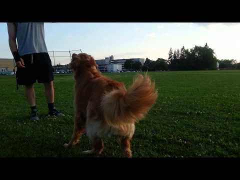Golden Retriever | Border Collie: Let's Play Ball!