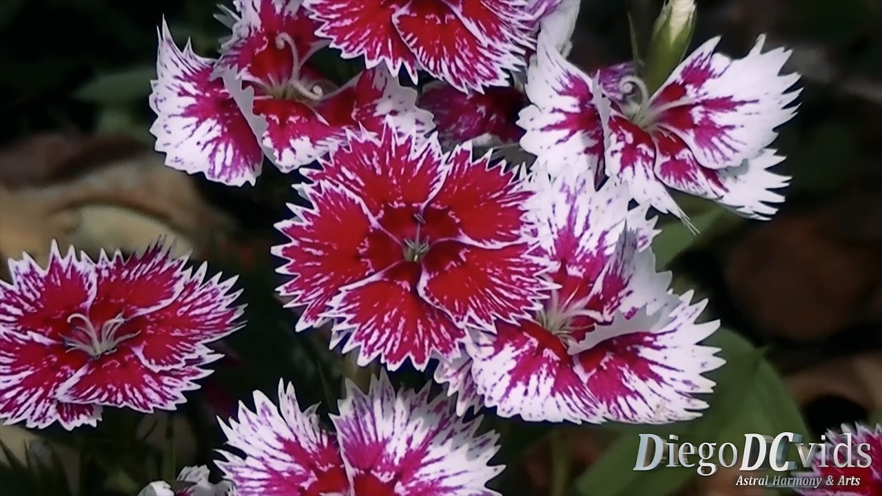 Dianthus Chinensis Cravina China Pink Caryophyllaceae Youtube