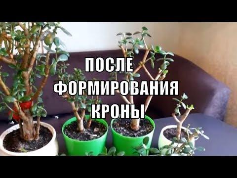 Крассула / Толстянка / Денежное дерево Формирование кроны спустя 3-4 недели итог Размножение