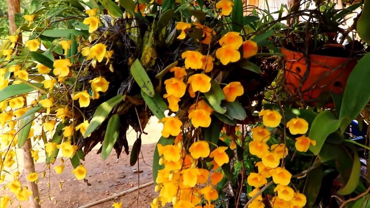 เที่ยวป่า ดูเอื้องผึ้ง บาน ,Dendrobium lindleyi Steud,กล้วยไม้ป่า ตระกูลหวาย,ออกดอกสีเหลือง