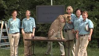 Cheetah Sets Record-Cincinnati Zoo