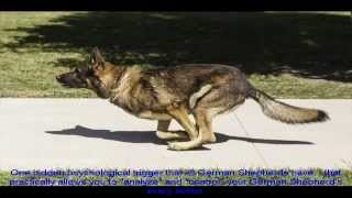 Long Coat German Shepherd Price
