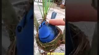 Burung Selendang Biru dialam liar