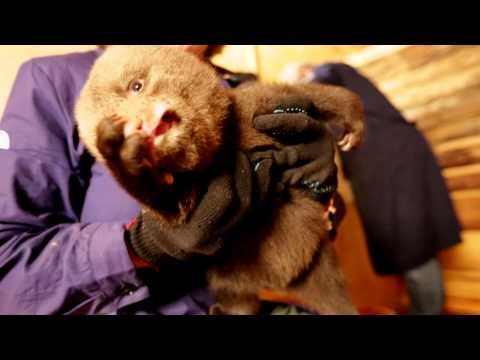 Ridiculously cute baby bears being bottle-fed