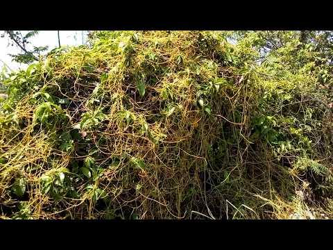 Amar bel(Akash Bel) ki pehchan aur ayurvedic  benefits