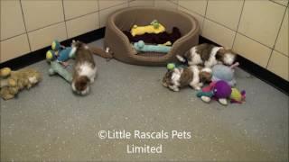 Little Rascals Uk Breeders New Litter Of Cavatzu Puppies
