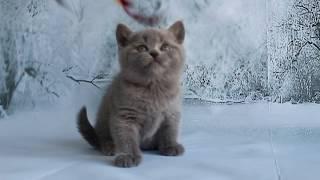 Британская кошка Diya играет. Купить котенка британца