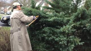 Prune Large Evergreen - Table Top Juniper! #howtoprune