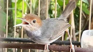 Suara Prenjak Betina Pikat Paling Dicari PEMIKAT, Jamin Panen Banyak Burung Perenjak / Ciblek Liaran