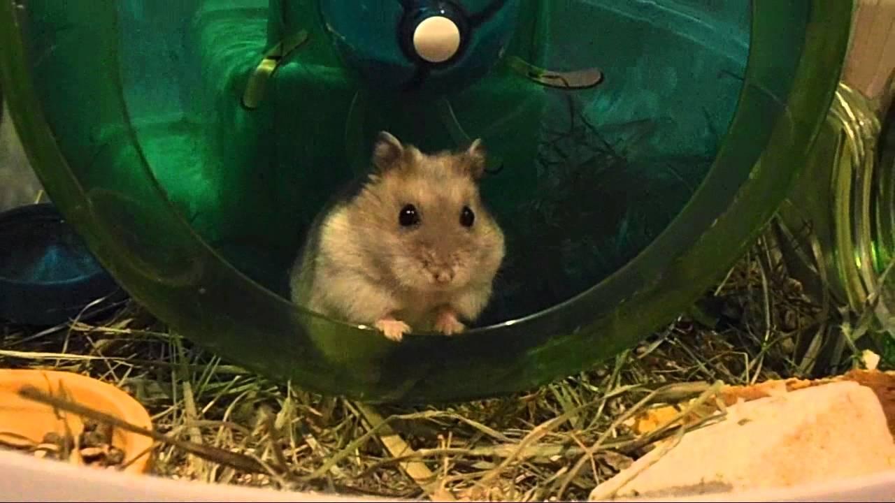 alvin hamster nain russe cage habitrail mini youtube. Black Bedroom Furniture Sets. Home Design Ideas