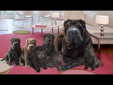 Mother Shar Pei Happy When Having New Puppies- Cute Dog Giving Birth