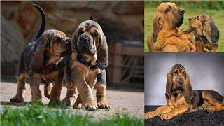 top Funny Bloodhound Videos