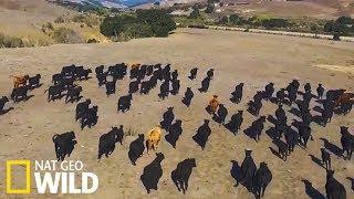 Les vaches surveillées par les drones