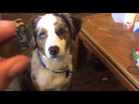 """How to Teach Your Dog the """"Focus"""" Command (Basis for other commands)"""
