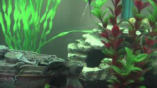 aqua one ar850 with angel fish tinfoil barbs firemouth cichlids and more