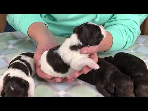 Ginger's miniature schnoodle puppies 11/15/19