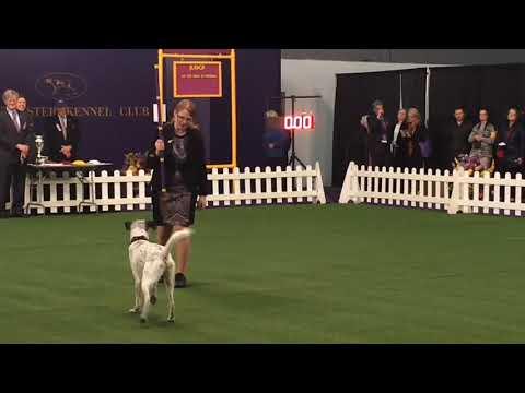 Westminster dog show 2018: Trick Dog demonstration