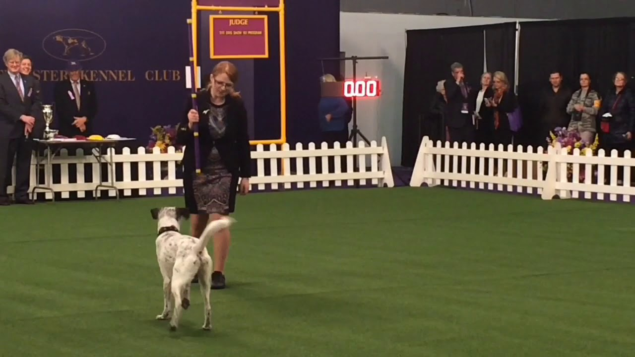 Westminster dog show 2018: Trick Dog demonstration | Doovi