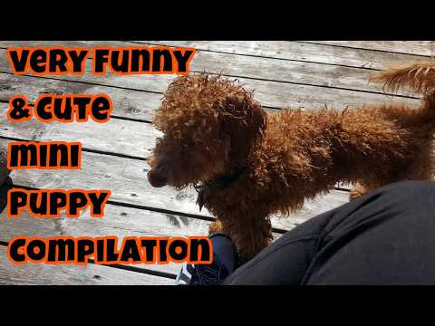 Very Cute & Funny Mini Puppy Compilation - Just Gin 2: Cutest Dog Ever! VOL. 39