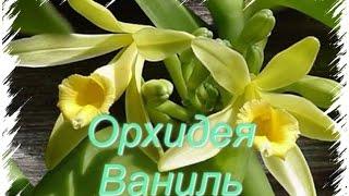 Vanilla orchid/ Орхидея Ваниль(This video is about Vanila orchid . Все об Орхидеи Ваниль, пересадка, уход , полив, освещение. Так же смотрите мои видео об..., 2015-09-24T17:05:10.000Z)